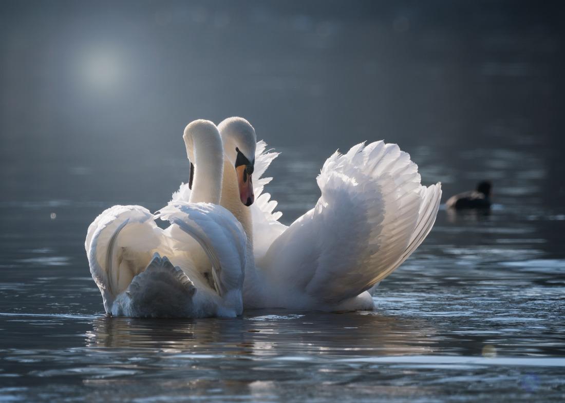 swan-4013225_1920