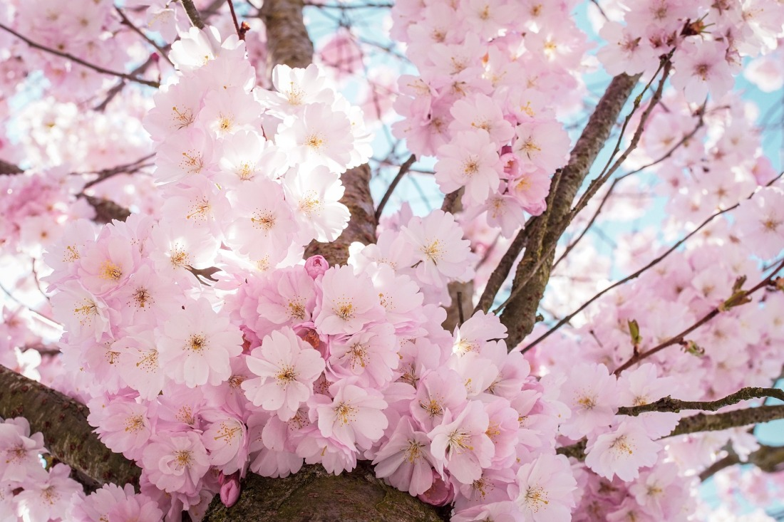 cherry-blossoms-4098985_1920