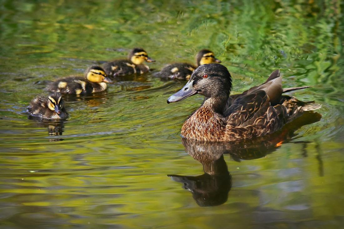 duck-4139022_1920