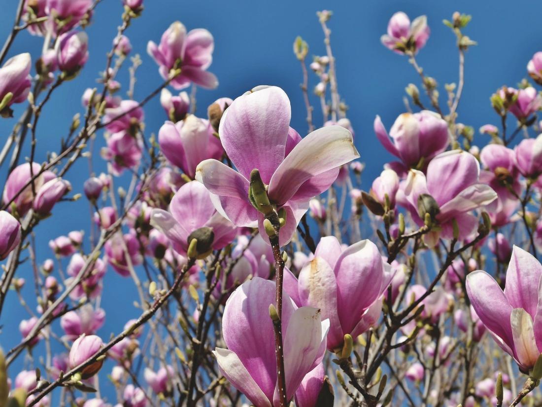 magnolia-4093988_1920