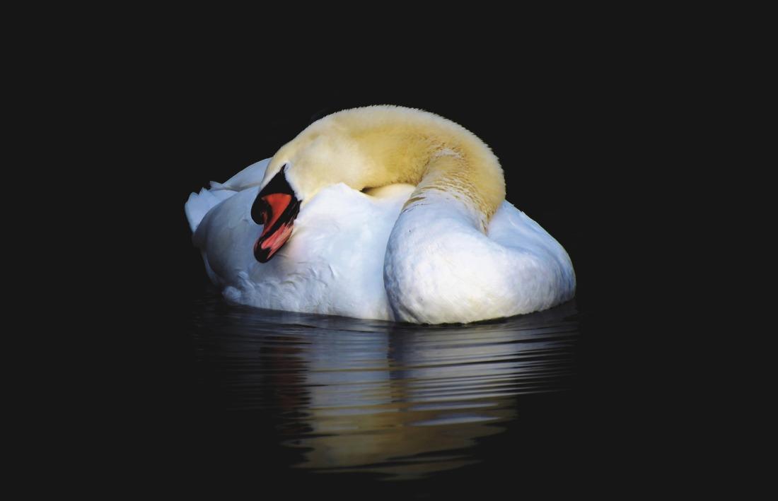 swan-4076964_1920