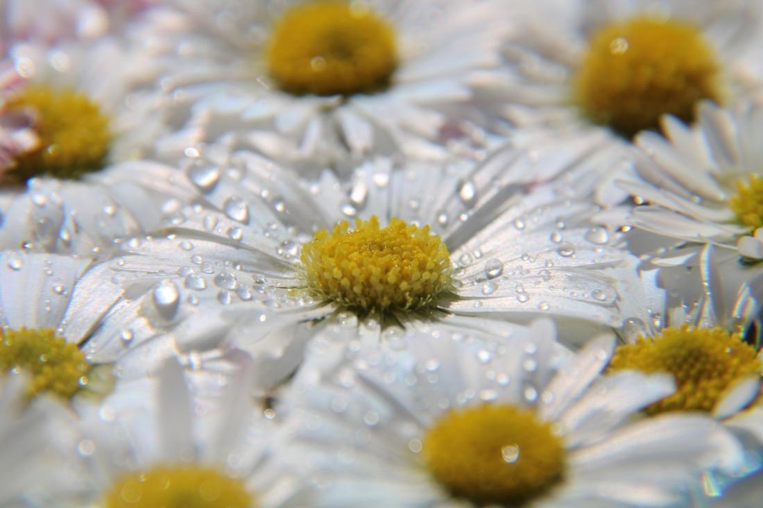 daisy-4163704_1920