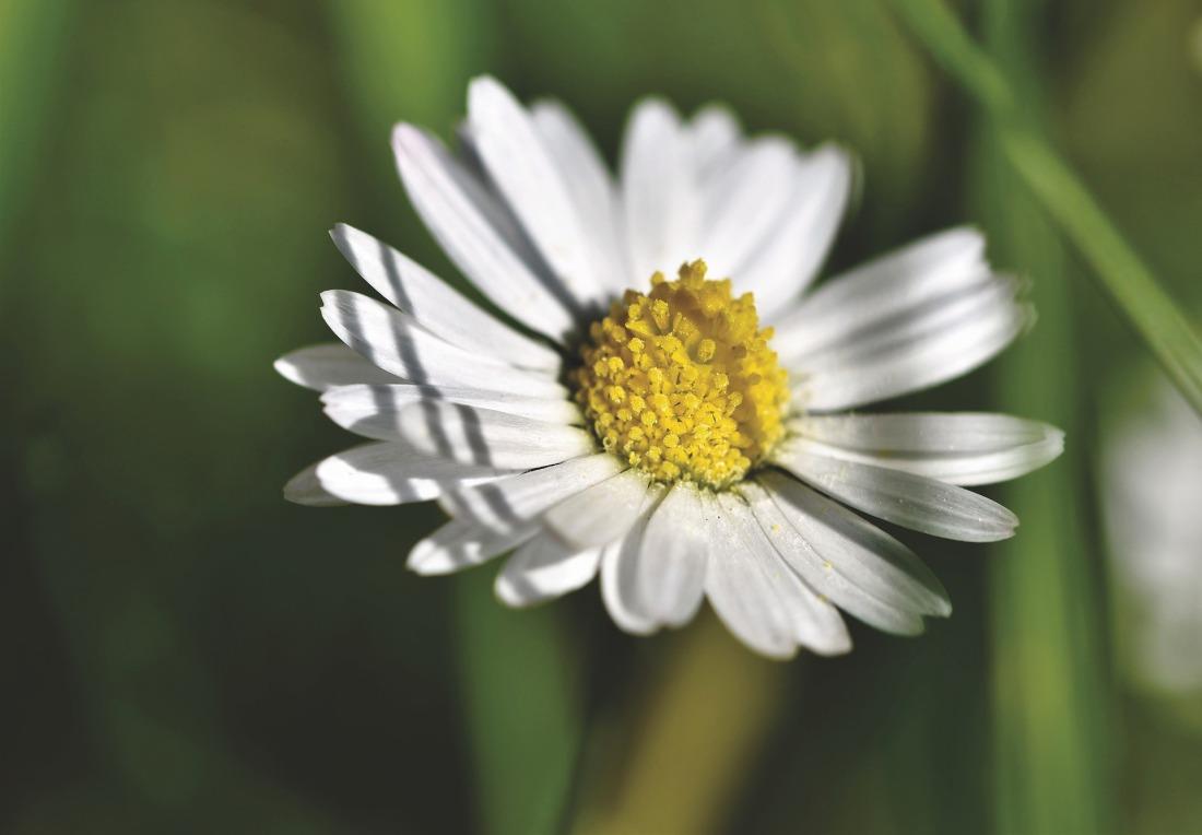 daisy-4213396_1920