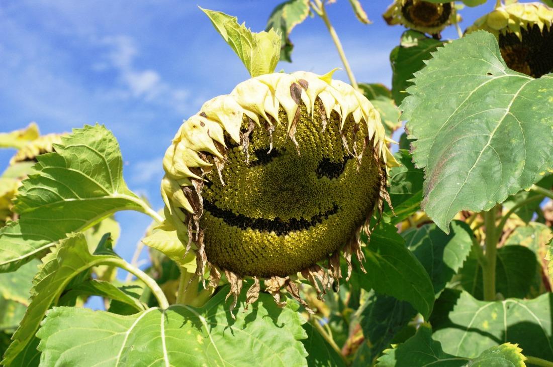 sunflower-3372532_1920