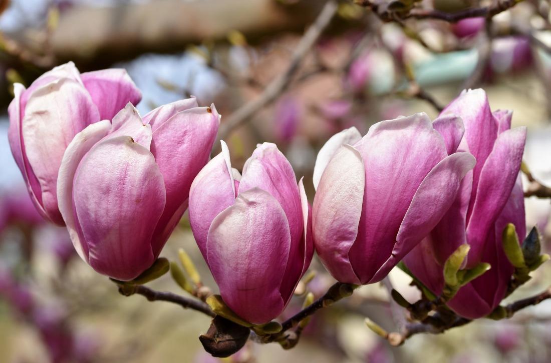 magnolia-4261230_1920