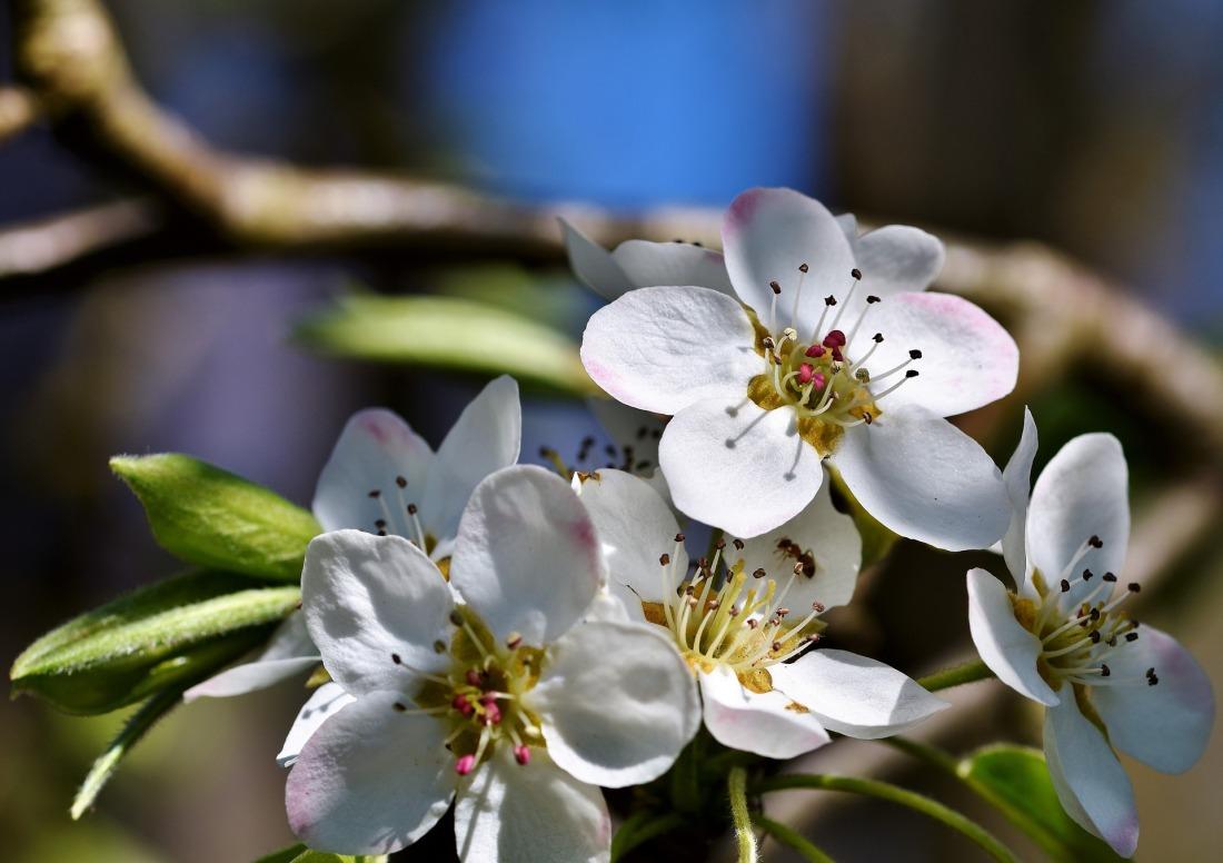 pear-blossom-4250641_1920