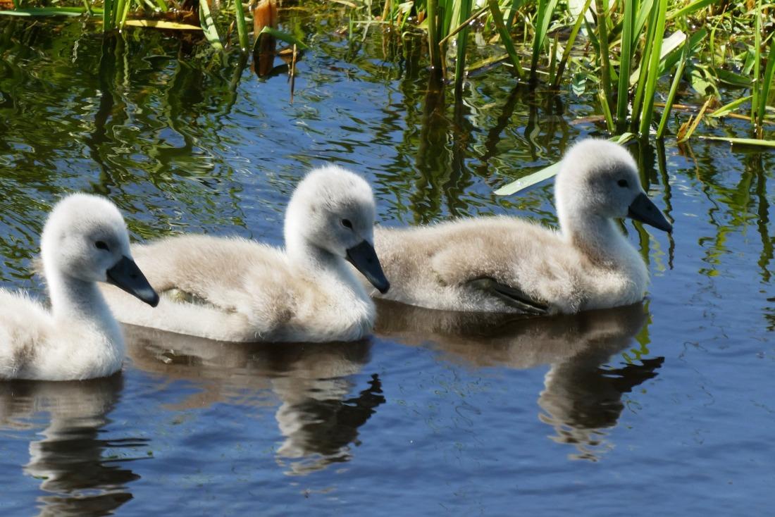swans-4252518_1920