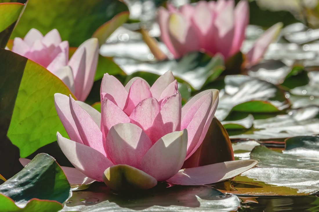 water-lily-4256932_1920