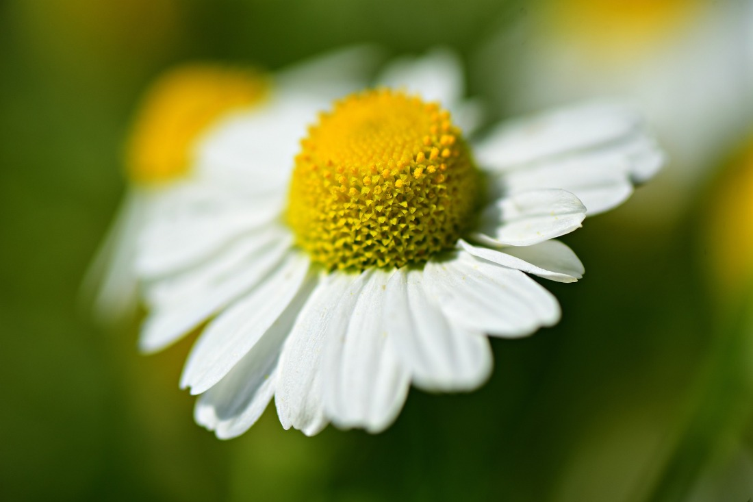 ox-eye-daisy-4351009_1920