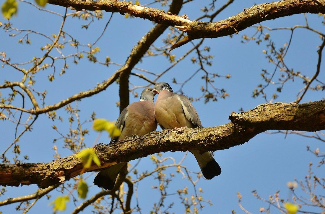 pigeons-50005_1920