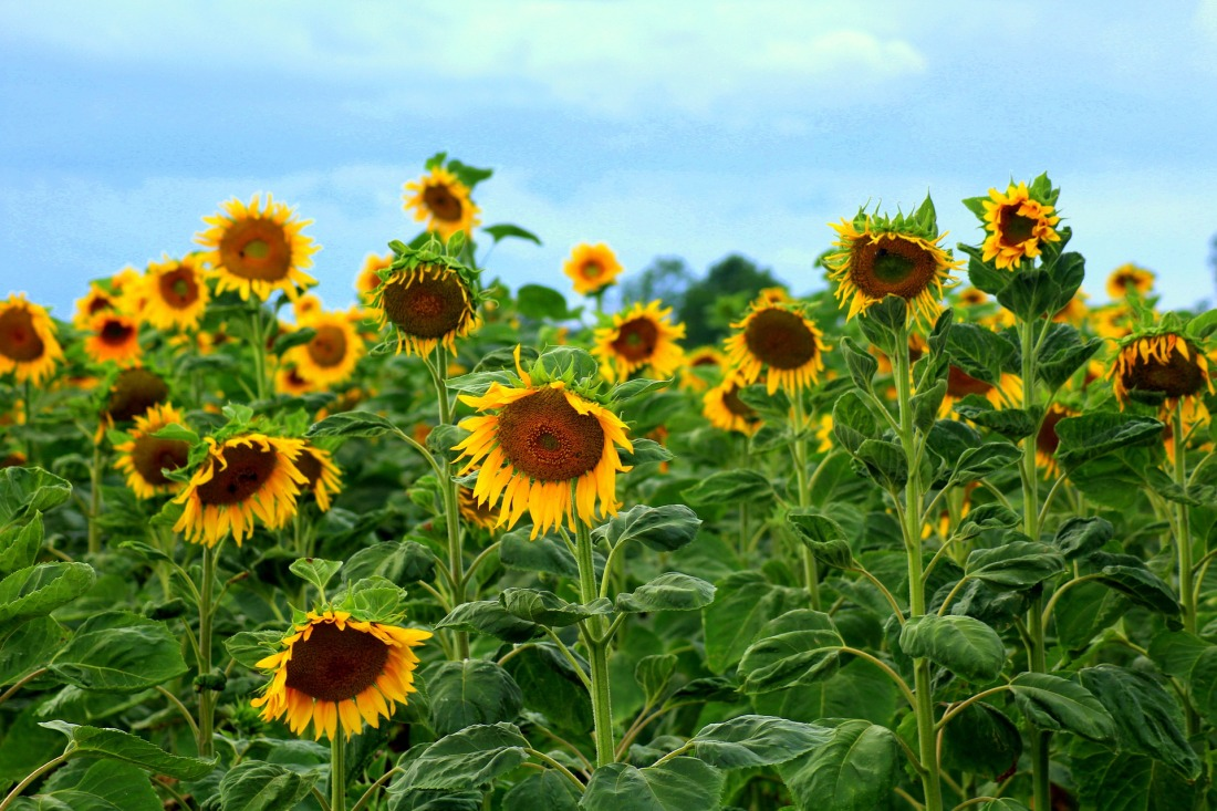 sunflowers-4325252_1920