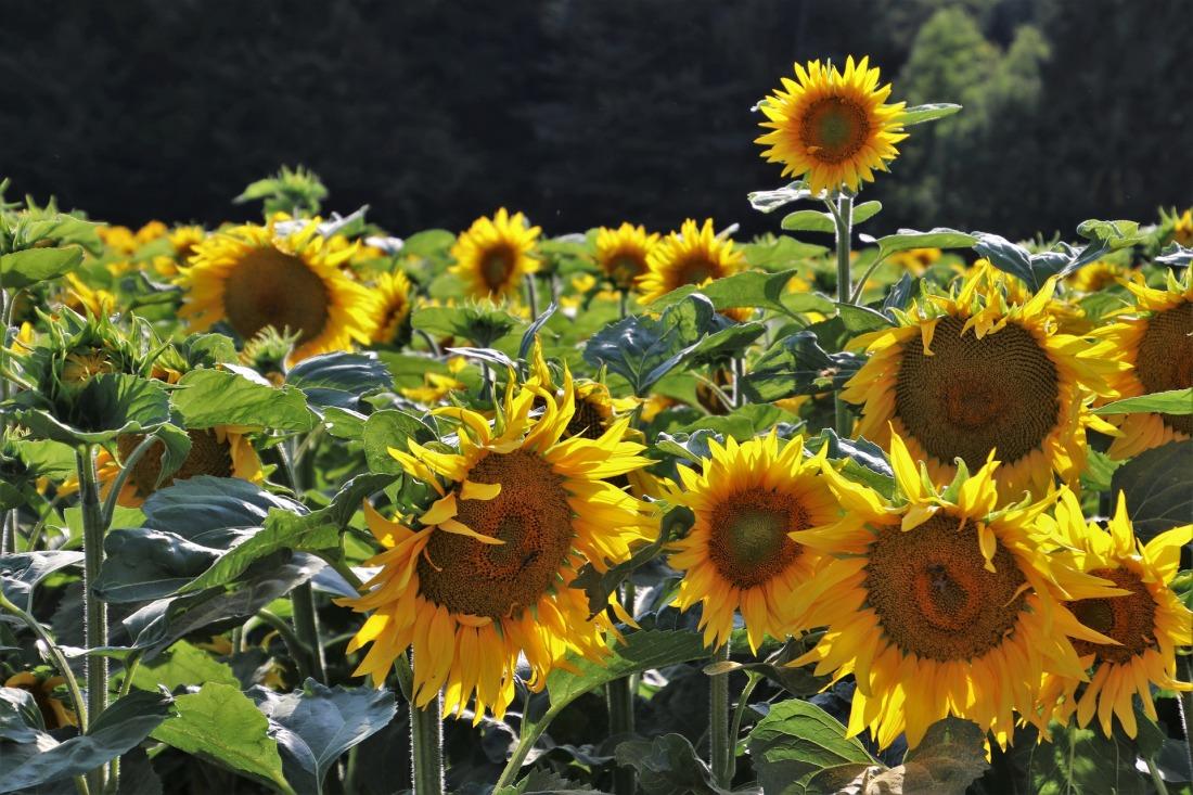 sunflowers-4352167_1920