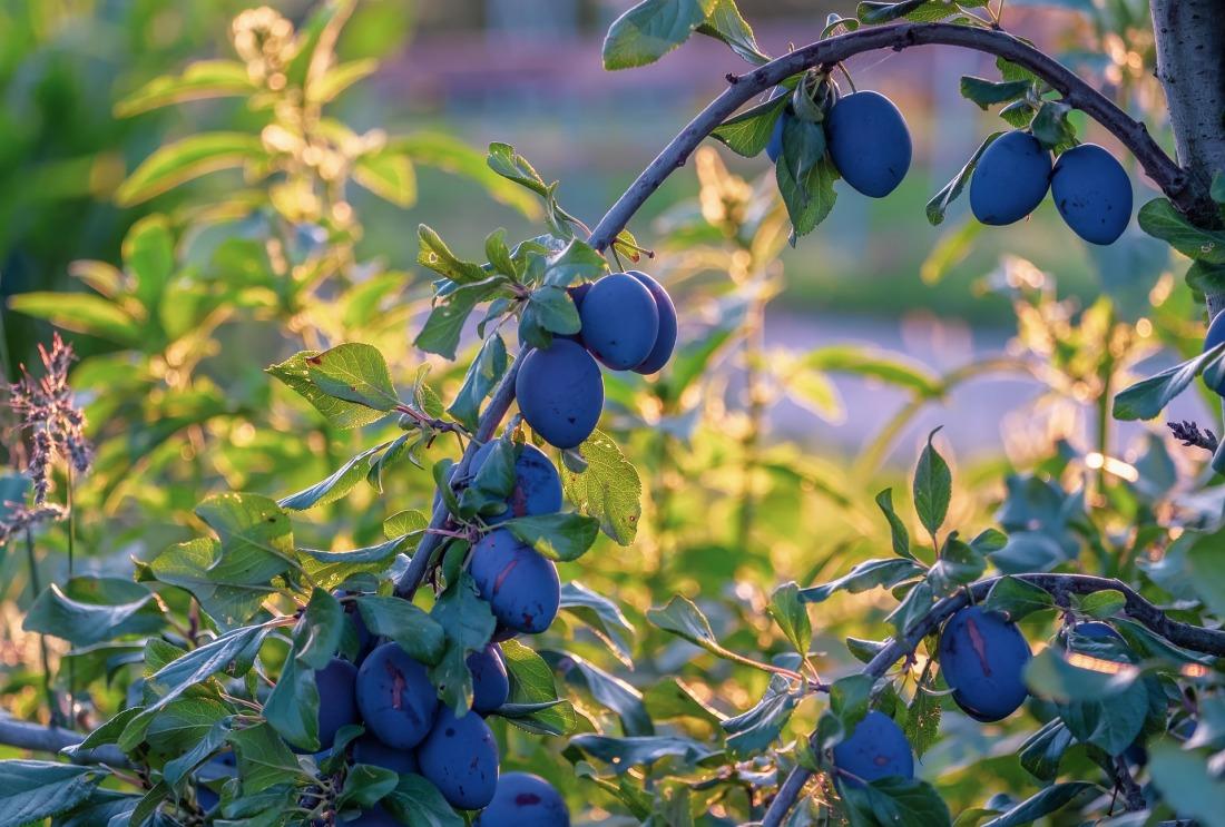 plums-4426444_1920
