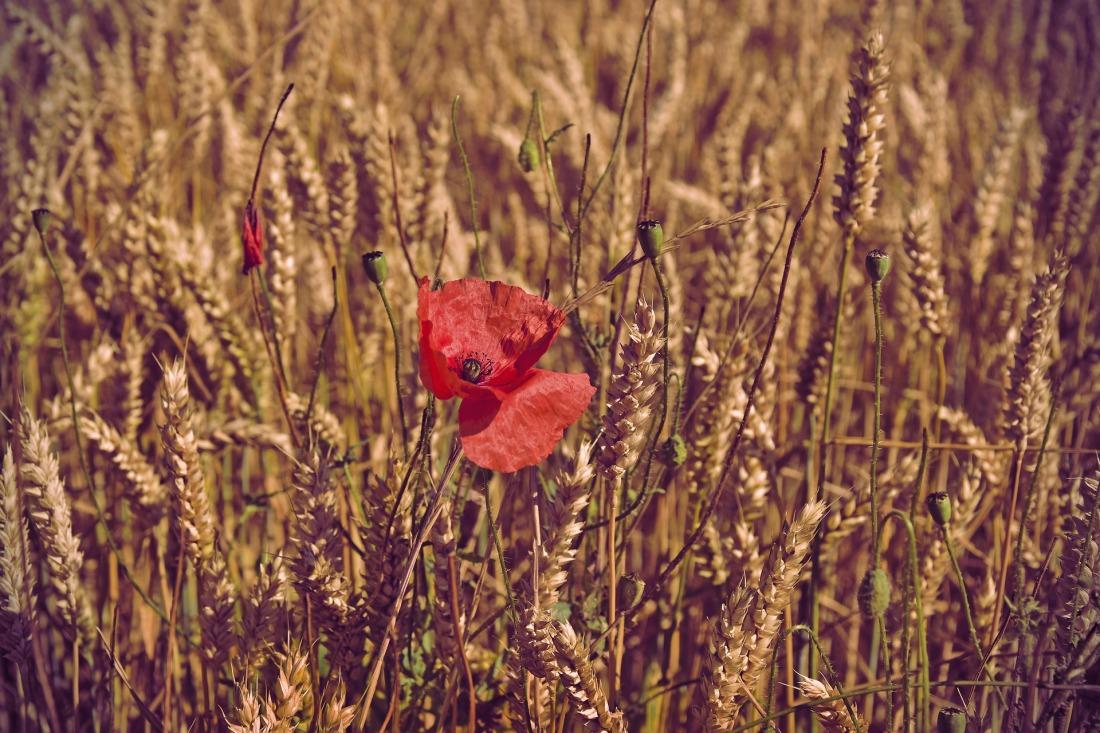 poppy-4377568_1920