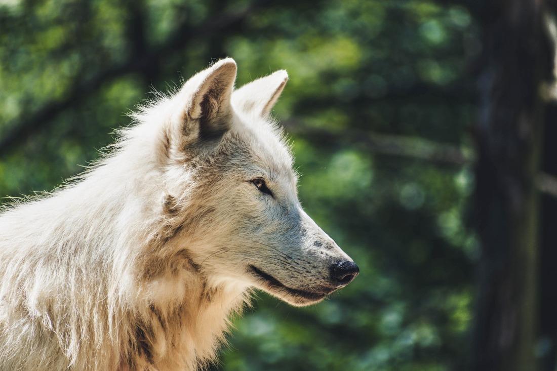 wolf-4334874_1920