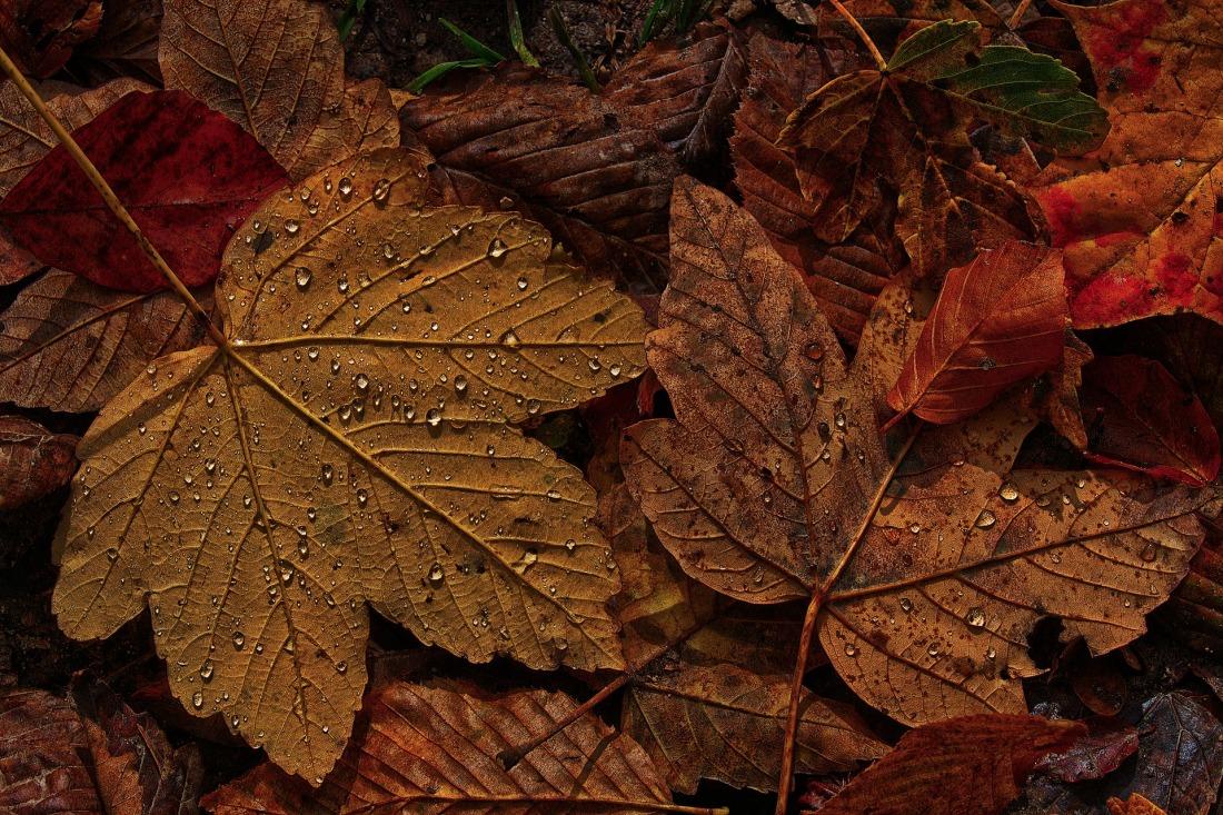maple-leaf-4597501_1920