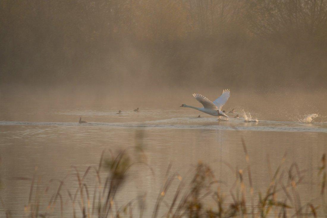 swan-taking-off-4614084_1920