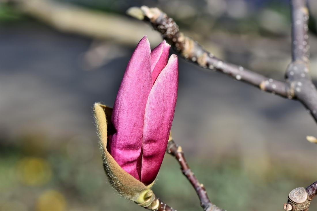 magnolia-4933037_1920
