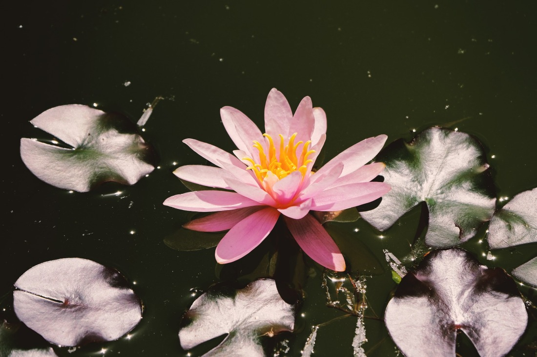 water-lily-5269396_1920